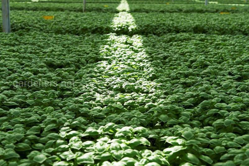 Підживлення салату