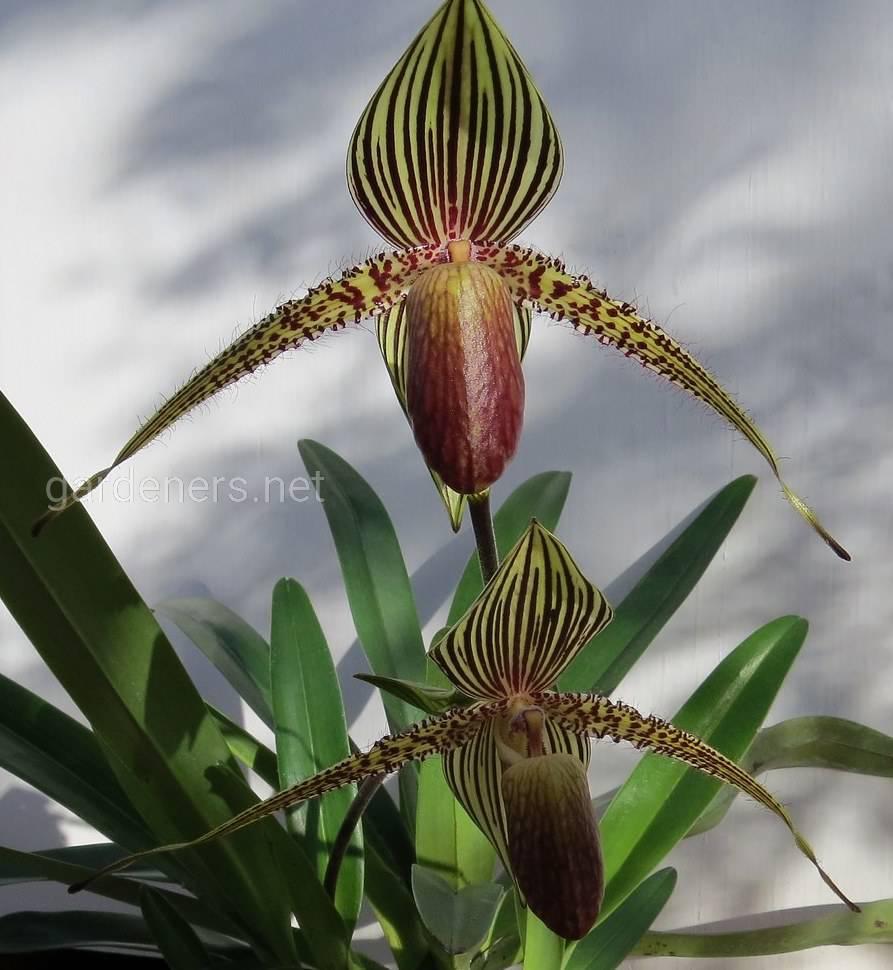Орхидея Тапочка Ротшильдов