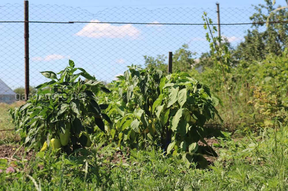 Выращиваем перец