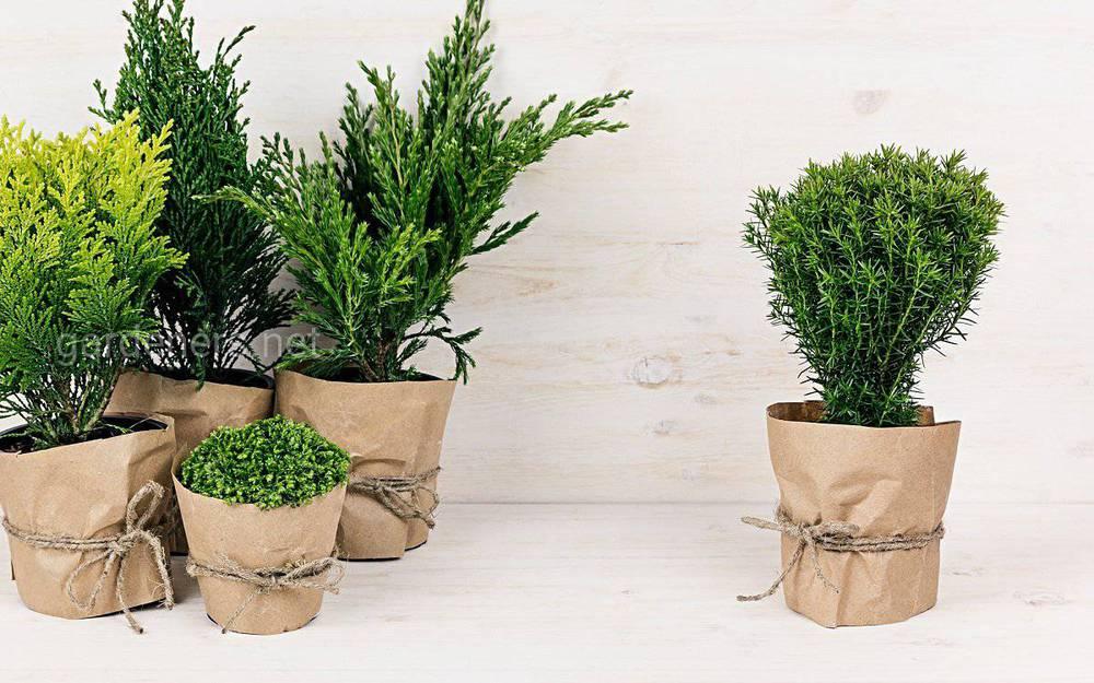 Выращивание декоративных деревьев в кадках