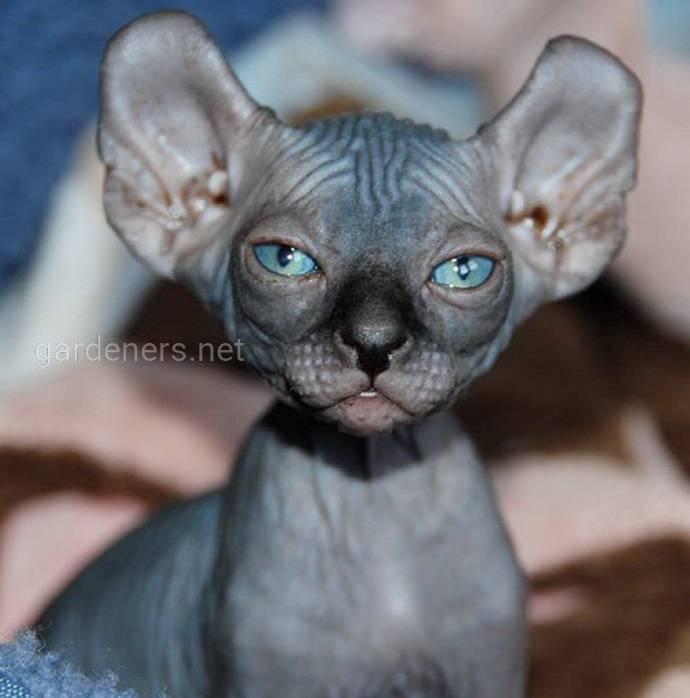 Эльфийский кот