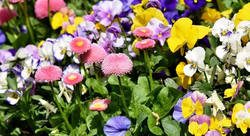 Идеальная клумба: цветы, которые нельзя сажать рядом, и которые защищают друг друга
