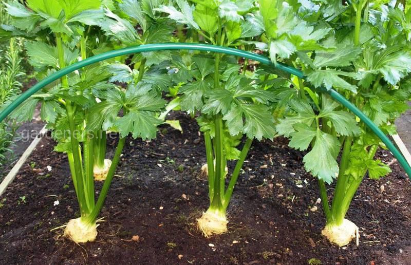 Какие условия благоприятны для возникновения болезней листьев корнеплодных овощей?