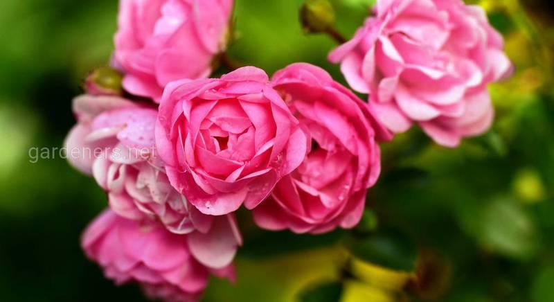 Осенние работы с плетистыми розами и укрытие на зиму