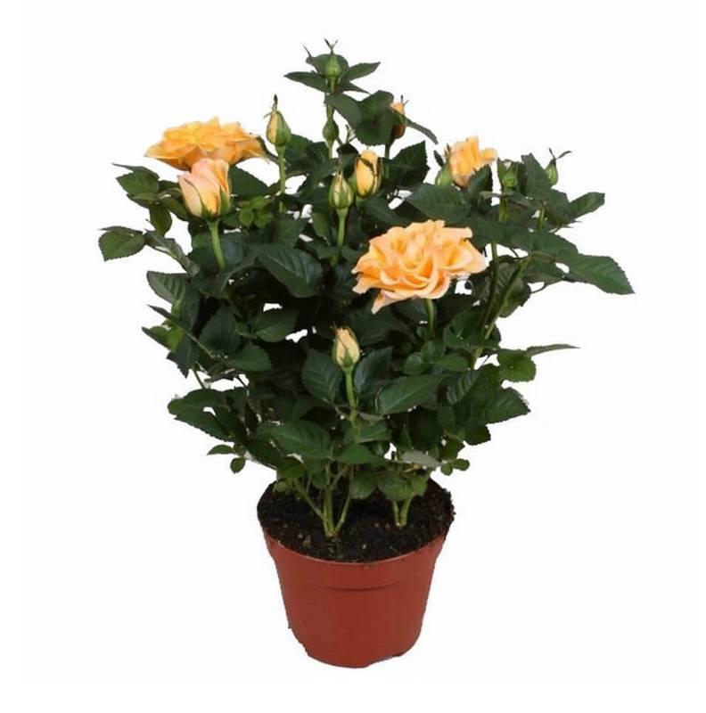 Як утримувати та плекати карликові троянди в приміщенні та на відкритому повітрі?