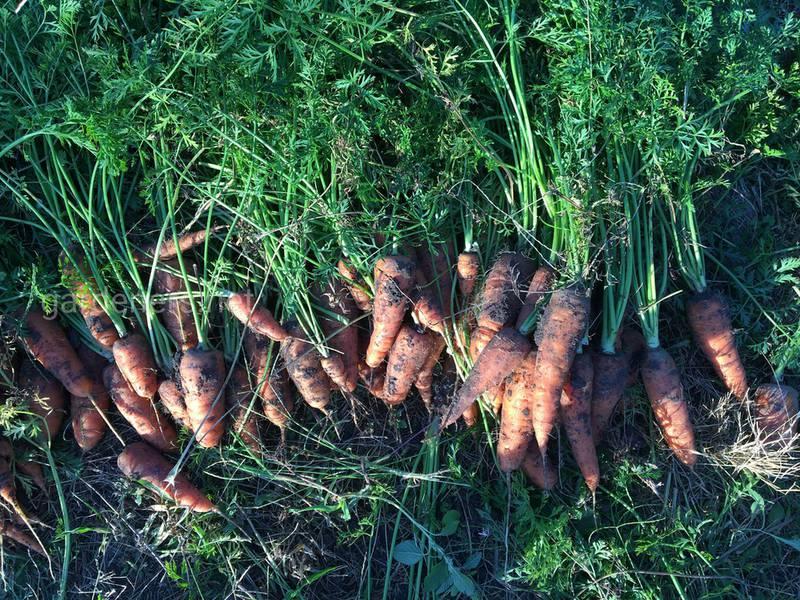 В какой момент собирать урожай моркови?