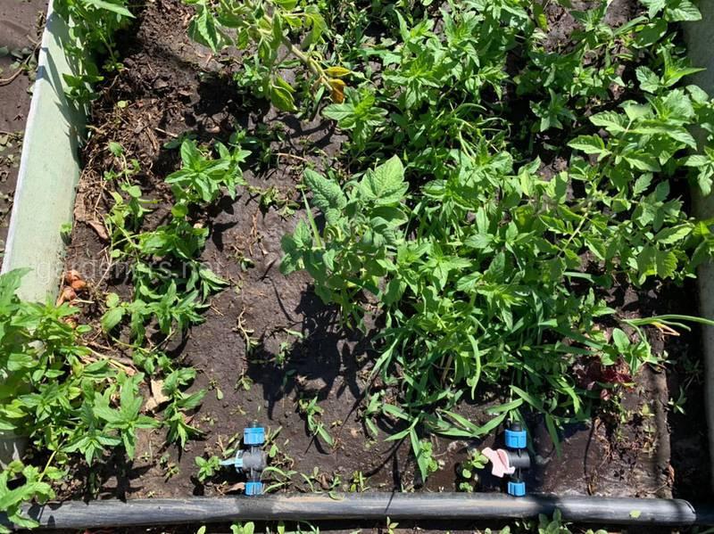 Вирусное поражение картофеля: как происходит заражение и какие могут быть убытки?