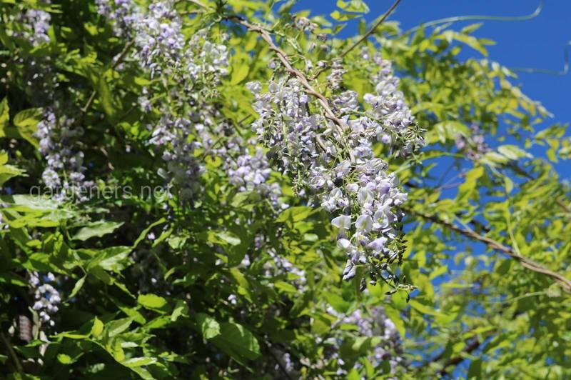 Чудесная глициния: советы по выращиванию удивительной лианы, которая превращает сад в сказку