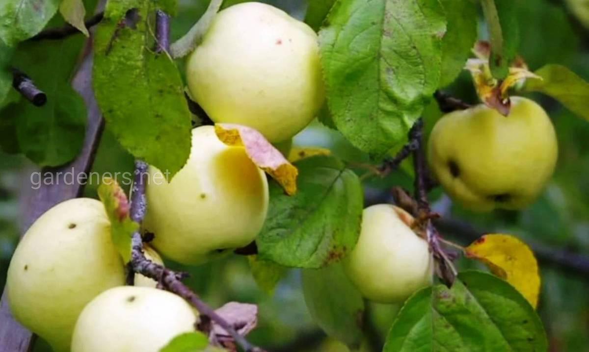 Сорт яблок «Антоновка»