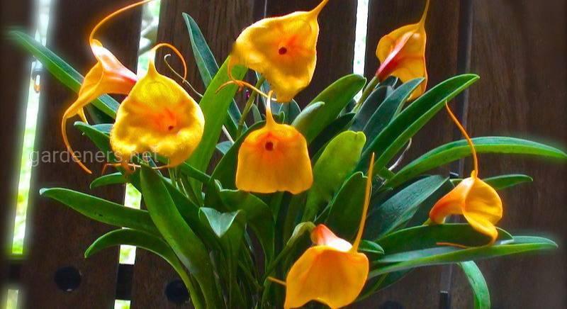 Які умови необхідні для успішного вирощування орхідеї Масдеваллії?