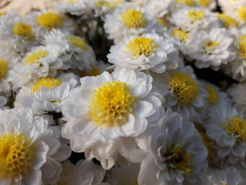 Что символизирует хризантема в зависимости от цвета?