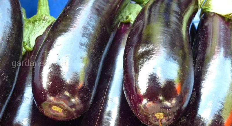 Описания лучших сортов баклажанов - вкус, польза и нюансы выращивания.