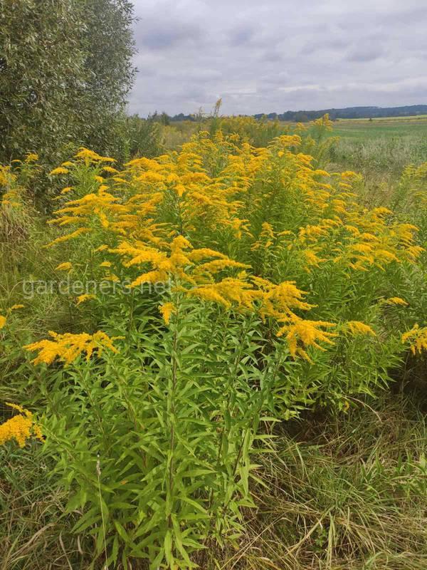 Золотушник - рослина, що захищає нирки та сечовивідні шляхи