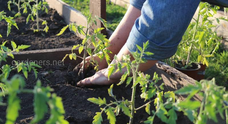 Розсада в відкритому ґрунті і перепади температури