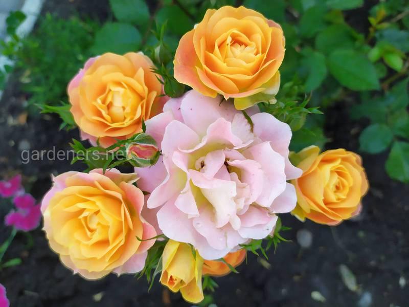 Какие выделяют виды роз?
