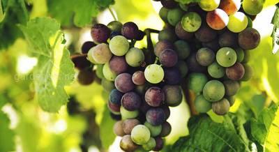 сорта винограда для беседки.jpg