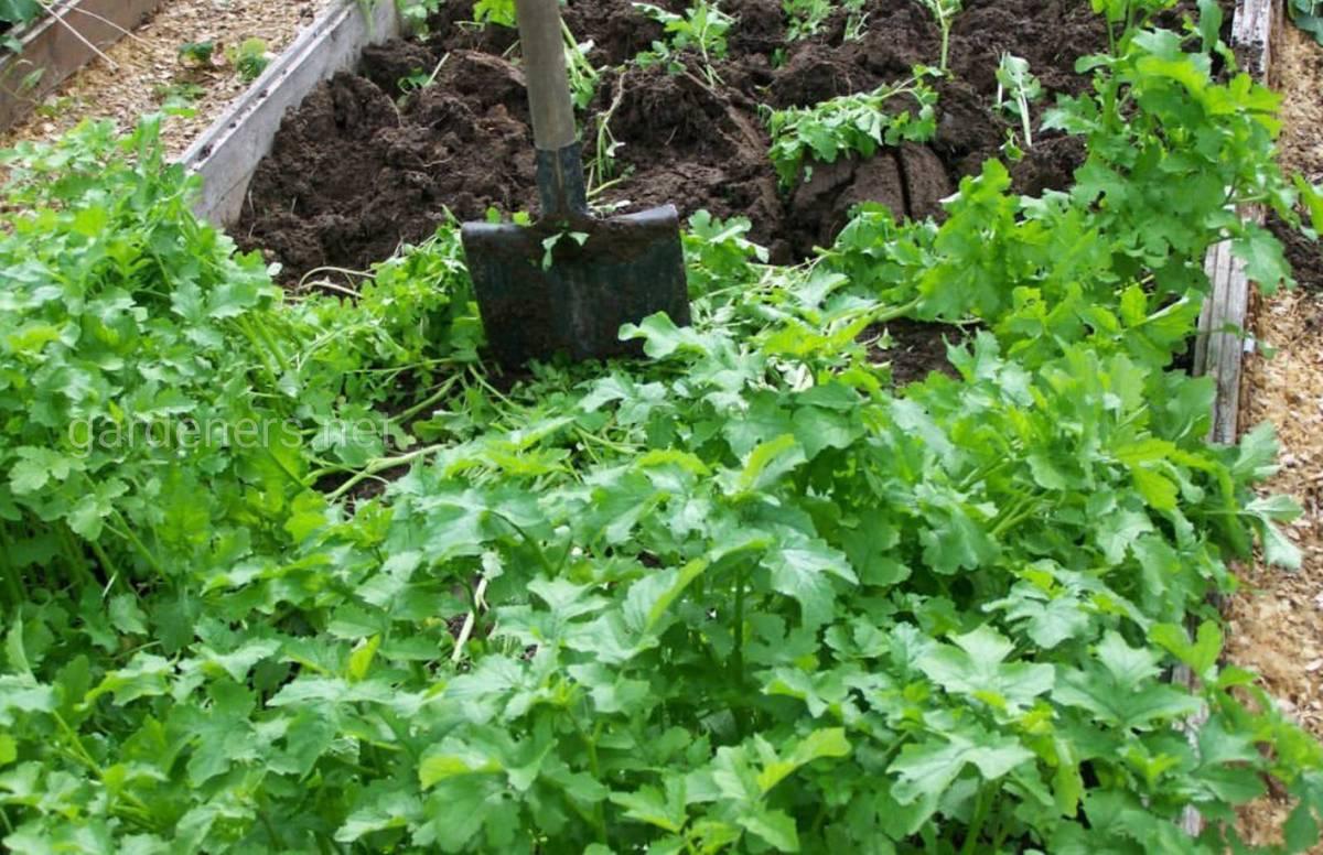 Высевание растений-сидератов.