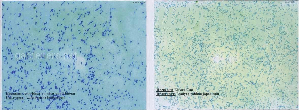 Бактерии-азотфиксаторы