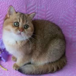 """""""LEMUR"""" британские котята"""