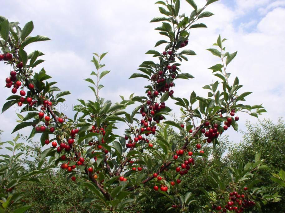 Подкормки плодовых деревьев весна-осень