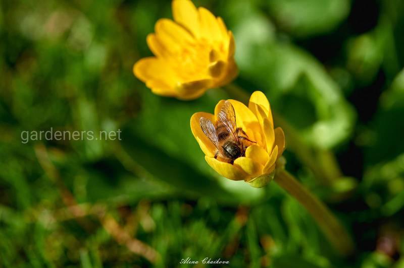 Що відбувається, коли бджола вводить отруту? Симптомы укусів у людини!