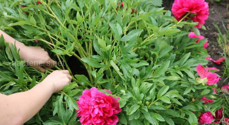 Как черенковать пион корневыми и стеблевыми делянками: пошаговая инструкция