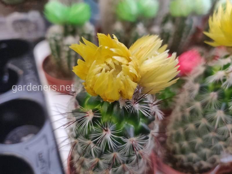 Кактус вимагає уваги та турботи: поради для цвітіння цієї рослини