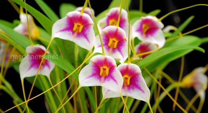 Какие условия необходимы для успешного выращивания орхидеи Масдеваллии?