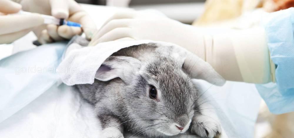 Как сделать прививку кролику