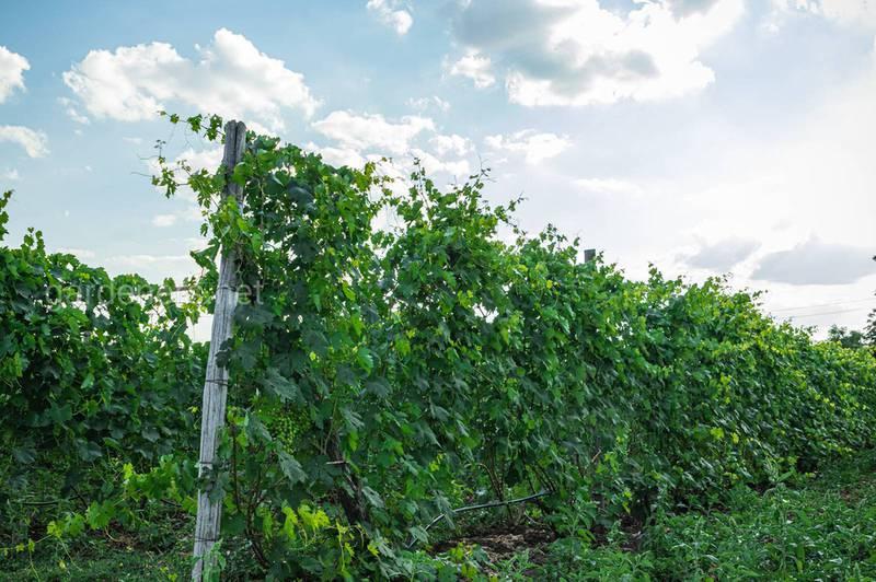 Як боротися зі шкідниками та хворобами в органічному виробництві винограду?