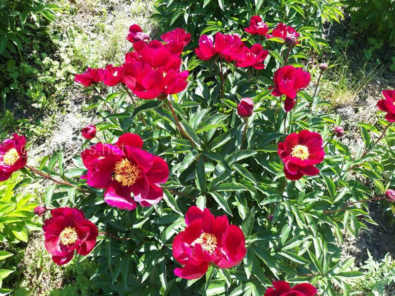 Півонія - чудова квітка з неповторним ароматом