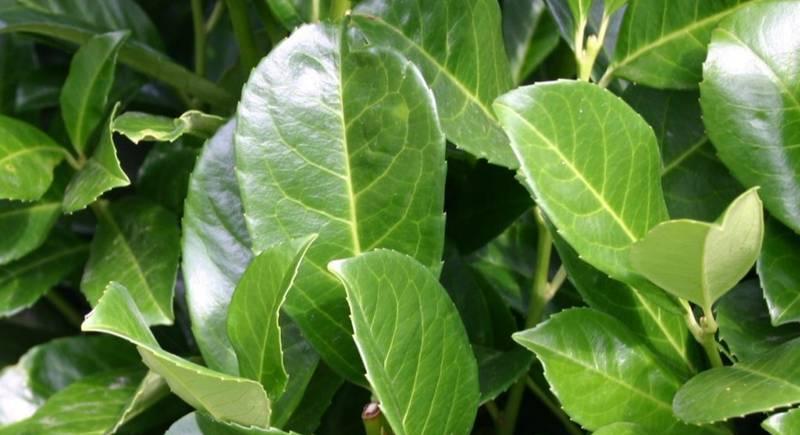 Лавровишня: описание растения и её полезные свойства