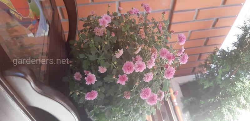 Как сохранить хризантемы в течении зимы?