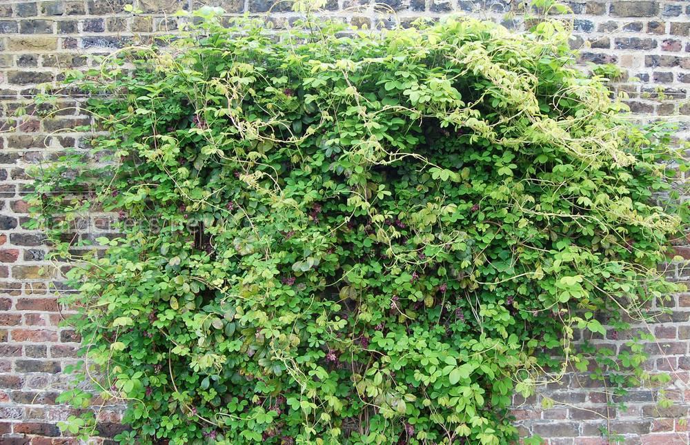 акебия - кустовидная лиана