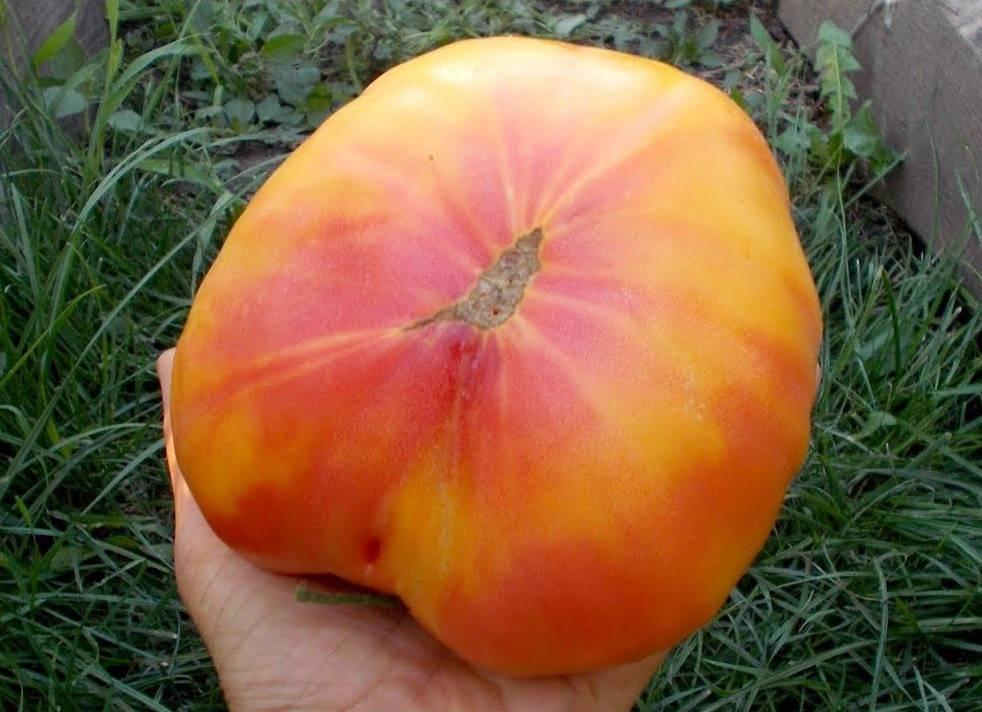 Сорт томата Большой Рейнбоу