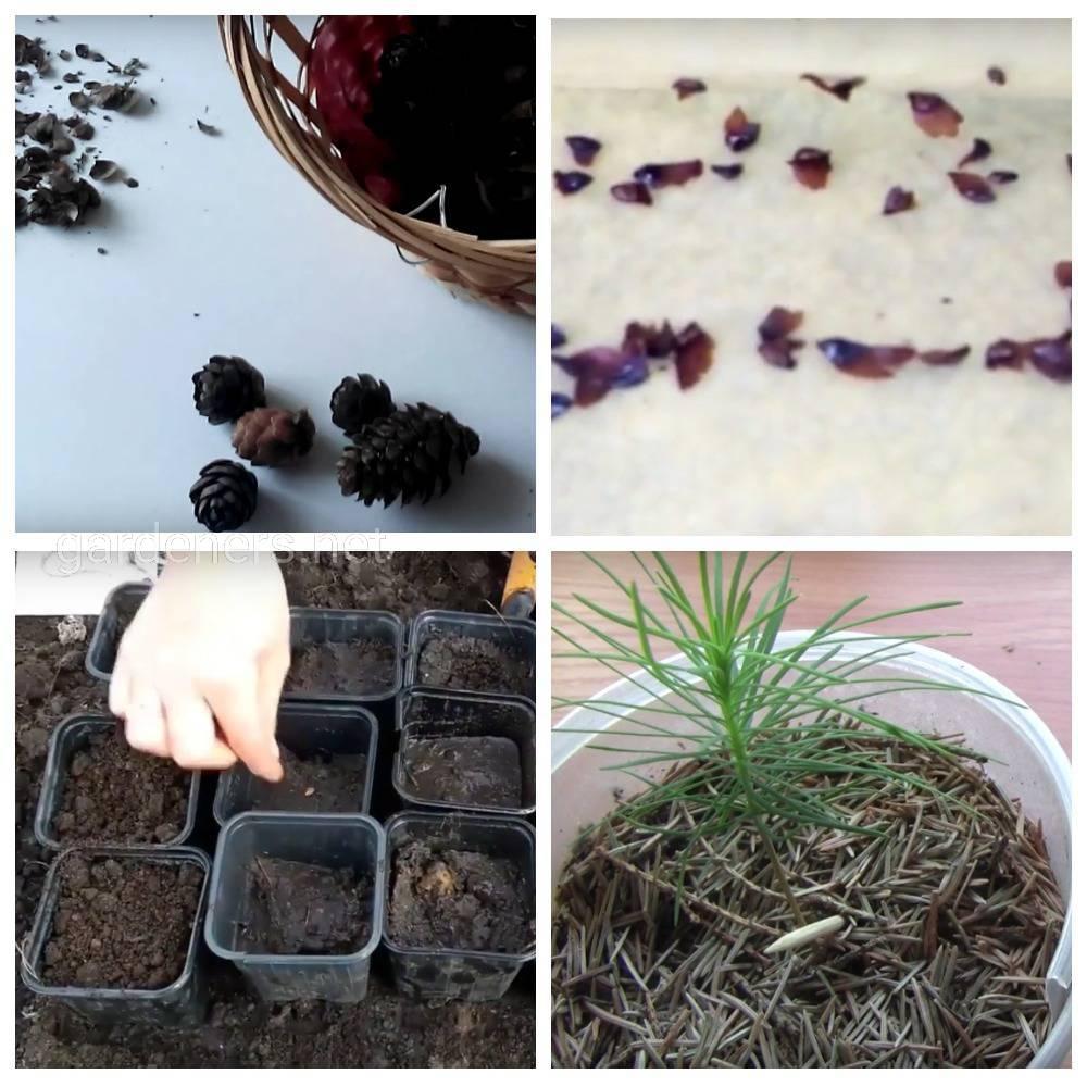 Размножение лиственницы семенами