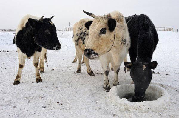 Якутская мини корова