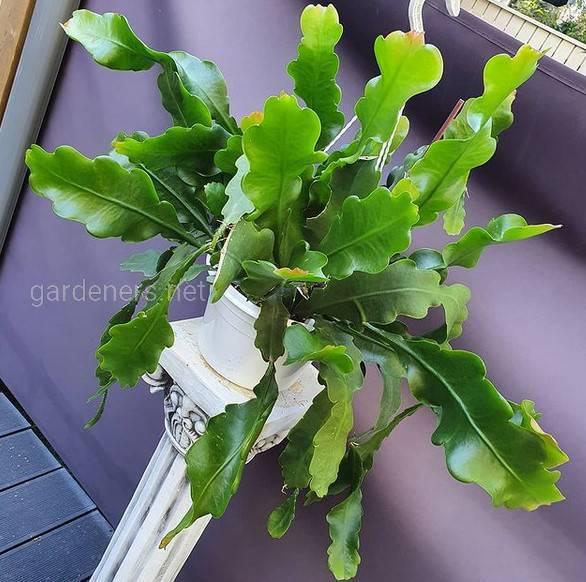 Epiphyllum Beavertail
