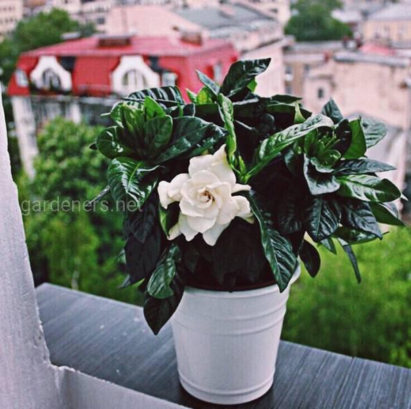 Топ-5 комнатных растений с цветками большого диаметра