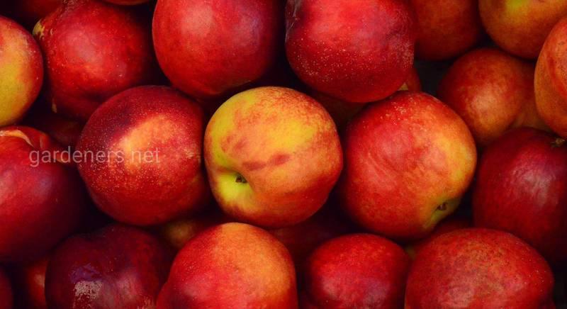 ТОП-10 самых сладких сортов яблок