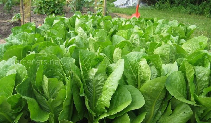 Вирощування салату: на що звернути увагу?