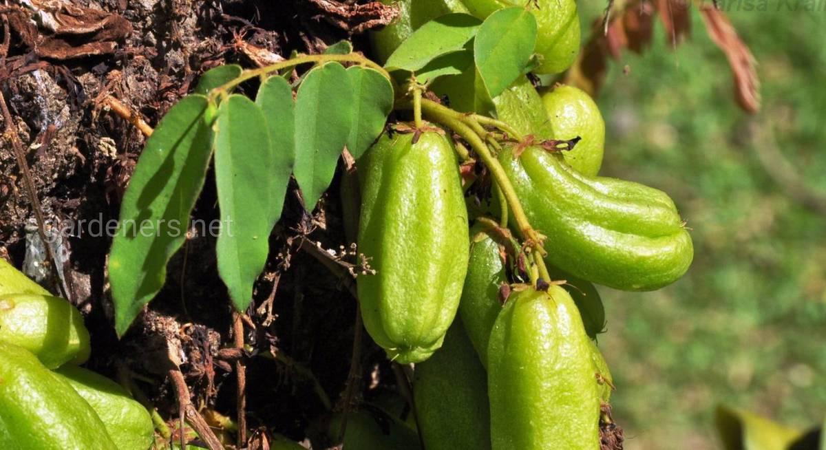 выращивание огуречного дерева.jpg