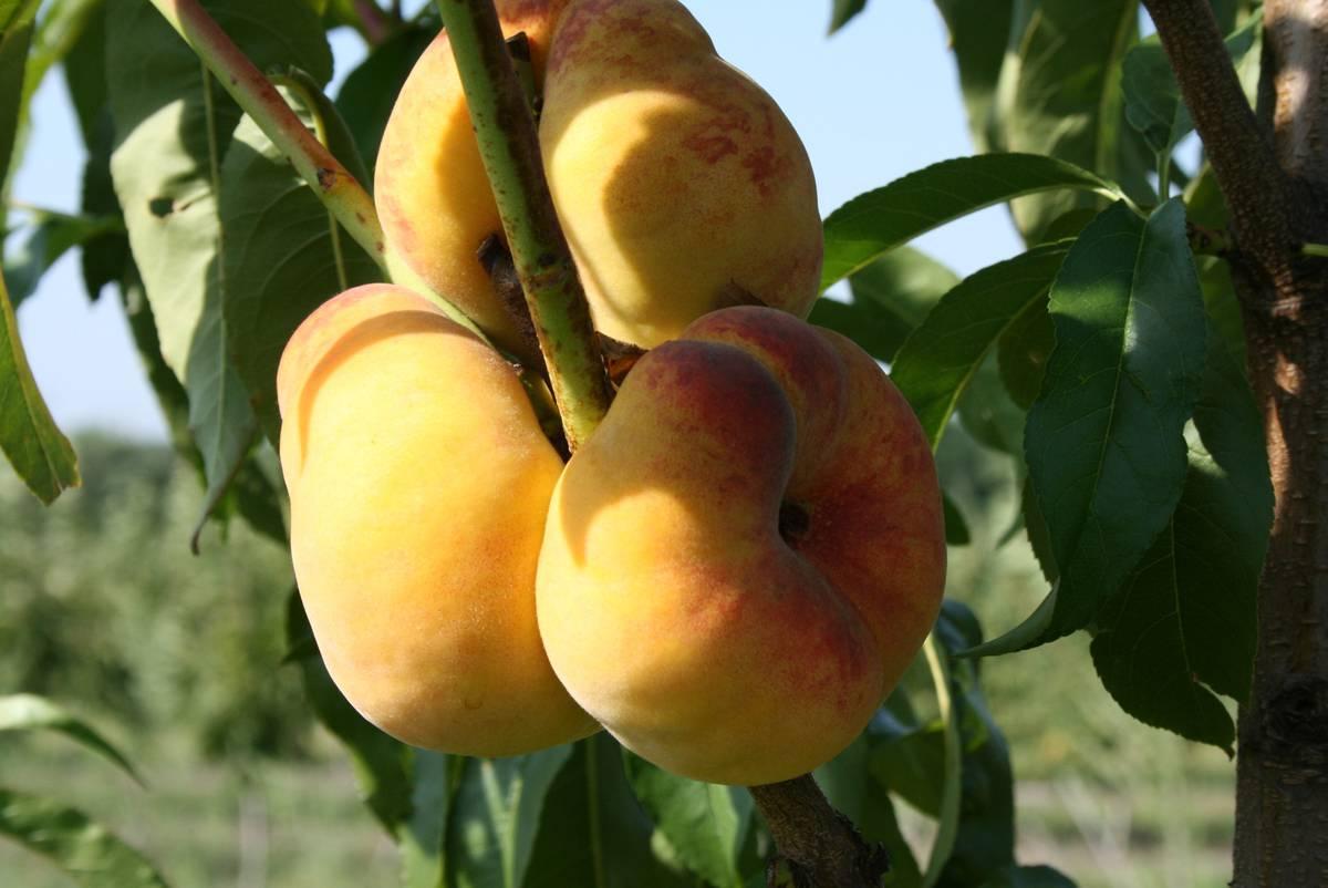 инжирный персик 3