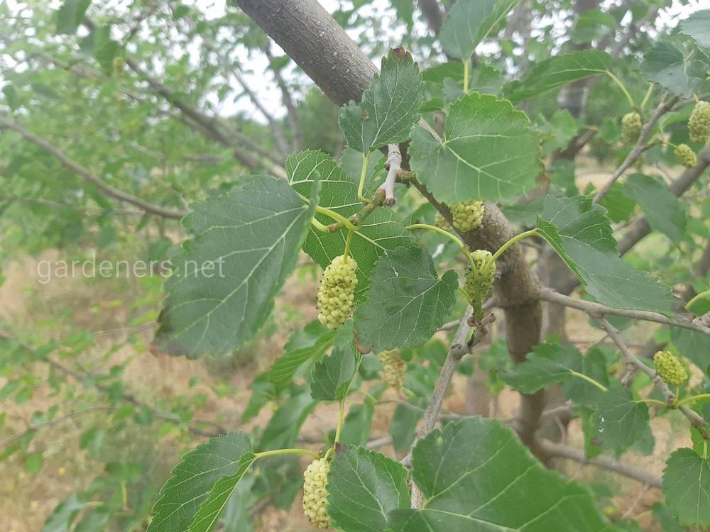 Лікувальні властивості листя шовковиці