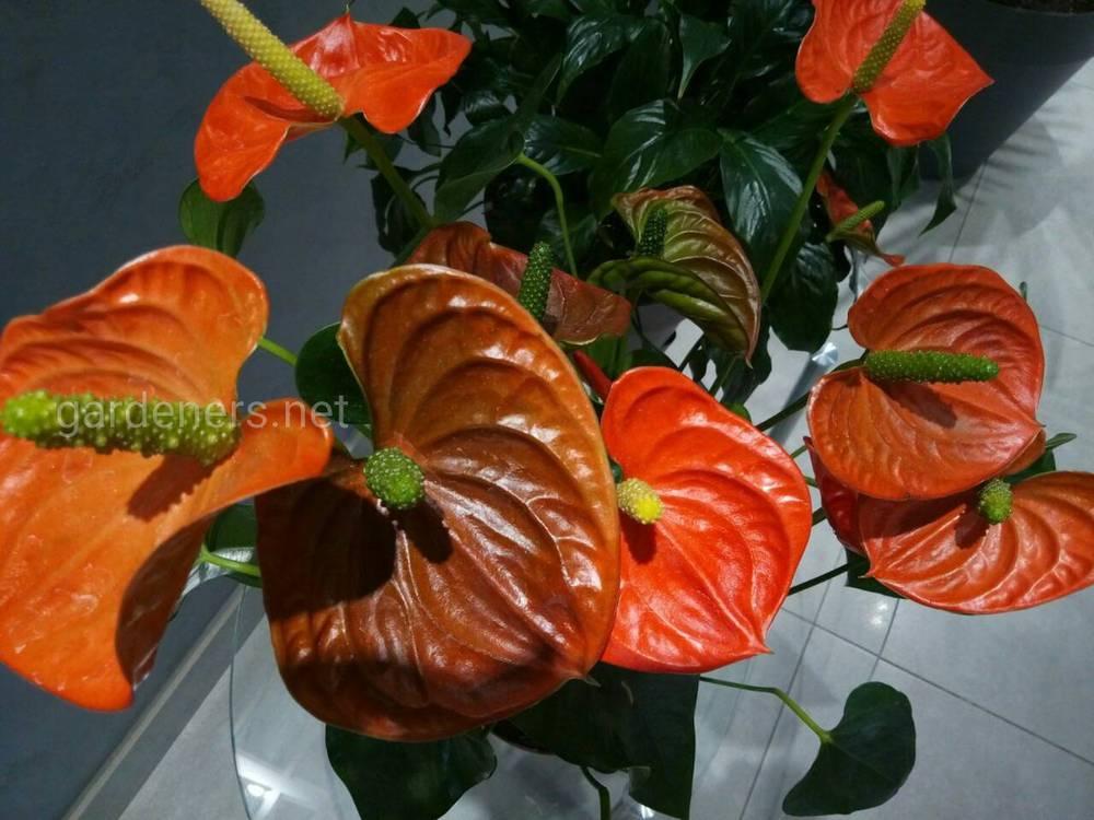 Антуриум — многолетнее растение