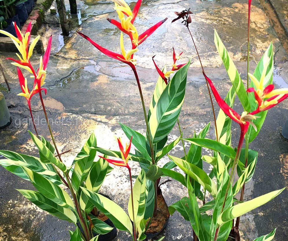 Геликония выращивание