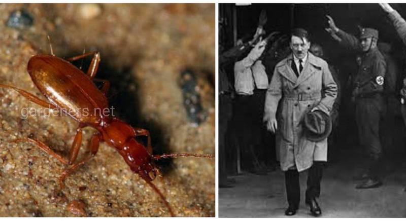 Жук Адольфа Гитлера - маленькое насекомое, которое чуть не исчезло из-за поклонников фюрера
