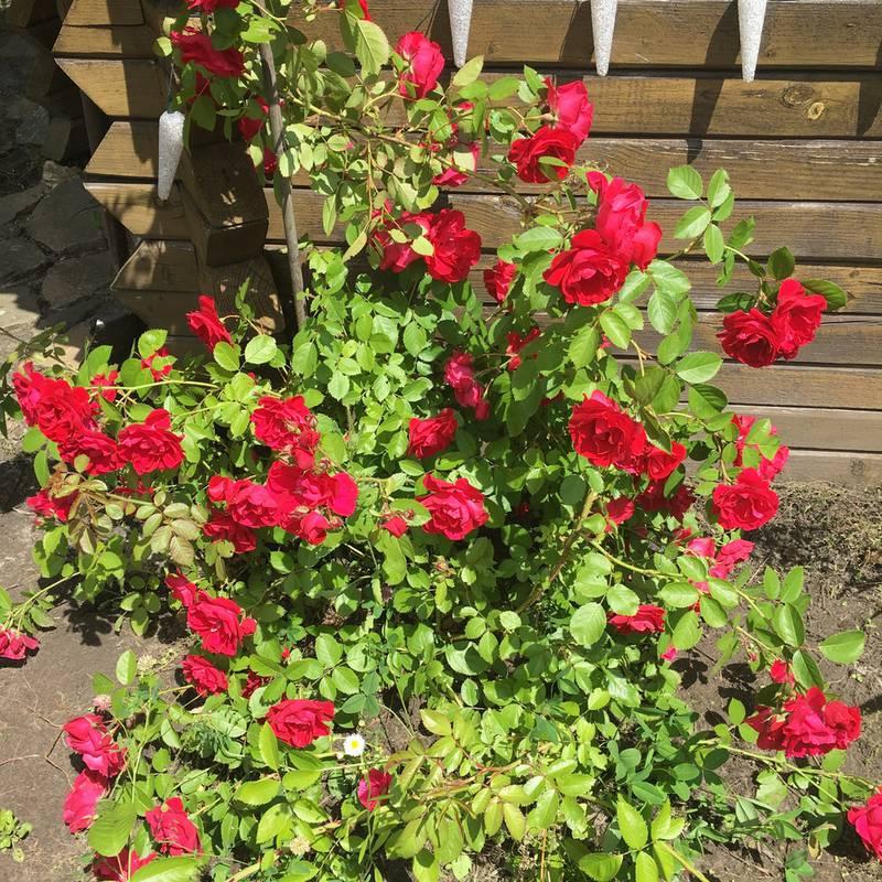 вся роза фонтейн плетистая ползает, встает опоры