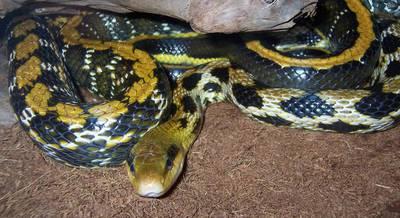 Змея Тайваньский тонкохвостый полоз