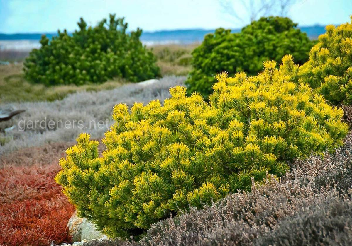 Pinus mugo Carstens